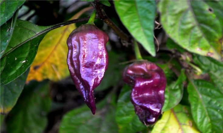 Purple Bhut Jolokia Ghost Pepper - Bhut Jolokia - Wikipedia, the free encyclopedia
