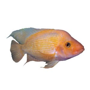 1000 images about fish for my fish tank on pinterest for Red devil fish for sale