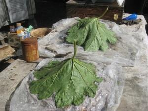 Leaf-casting the rhubarbleaf - use for a decoration or bird bath.  Works for huge hosta leaves, too.