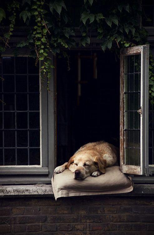 #cani che dormono sui davanzali (immagino e spero al pianterreno)!