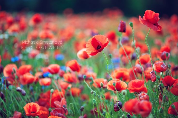 poppies https://www.facebook.com/MichaelaSmetanovaPhotography