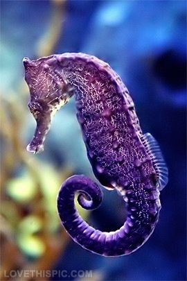 Caballo de mar púrpura #seahorse #animales