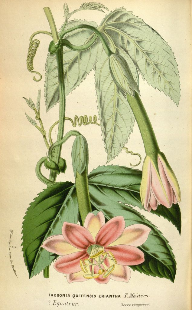 Passion Flower. Passiflora mixta var. eriantha (1870)