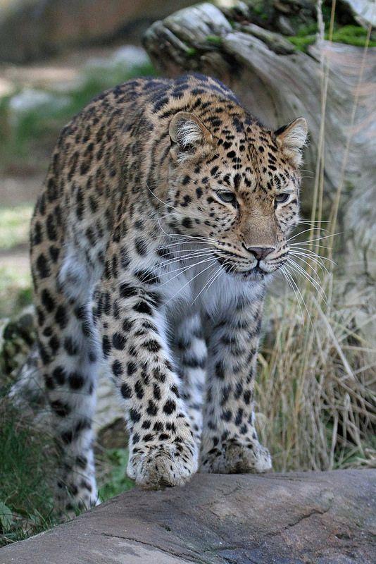 ☀Amur Leopard 'Milena' by Buggers1962*