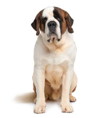 In a perfect world, if I didn't have to clean up poop, drool, pay for food or vet bills...I would own a St. Bernard!