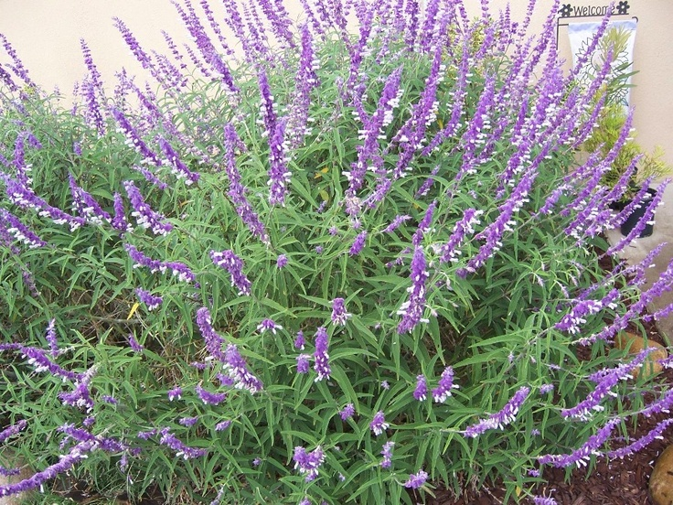 Mexican Bush Sage Salvia Leucantha This Perennial Is