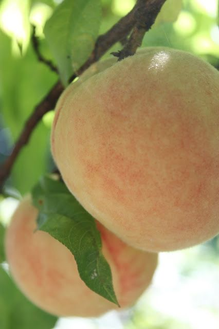 #peaches in our #potager
