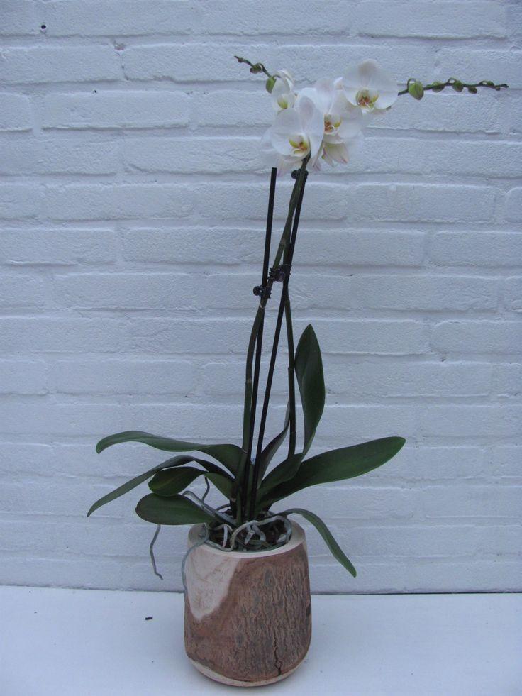 Houten vaas (16x22) met witte phalaenopsis