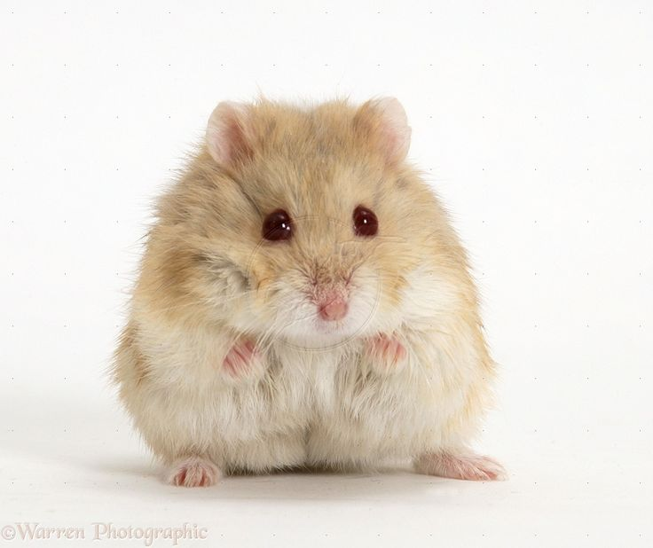 Dwarf Russian Hamster (Phodopus sungorus).#hamster