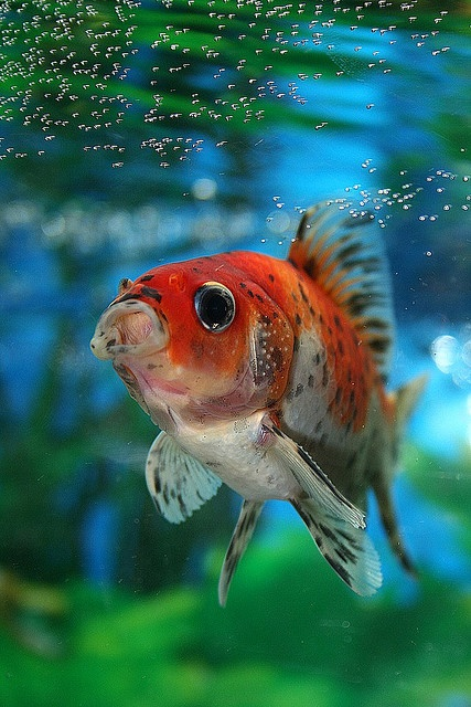 Male calico comet showing the tubercles on the gill covers. By cgeneramos Photography