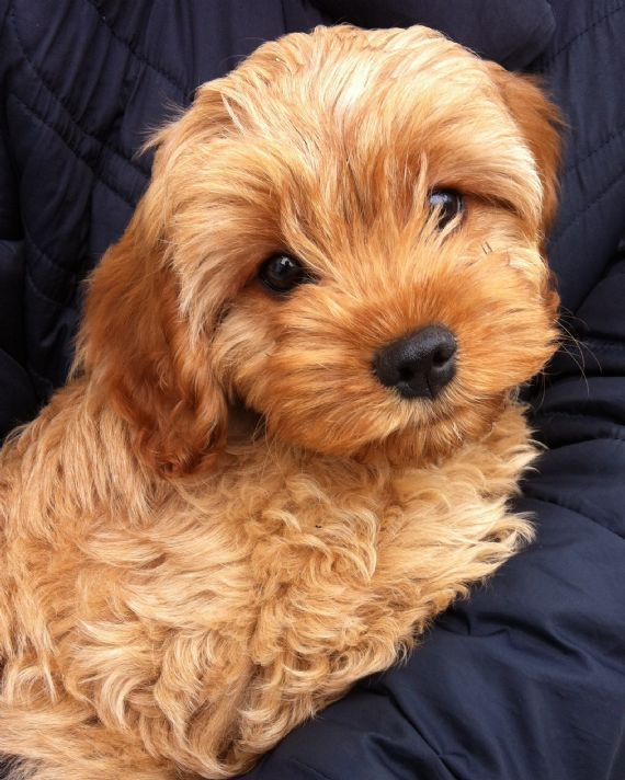 About Us in 2020 (With images) Cockapoo puppies