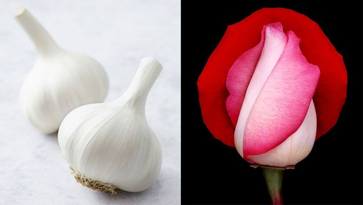 Garlic And A Rose Companion Planting Certain Plant 640 x 480