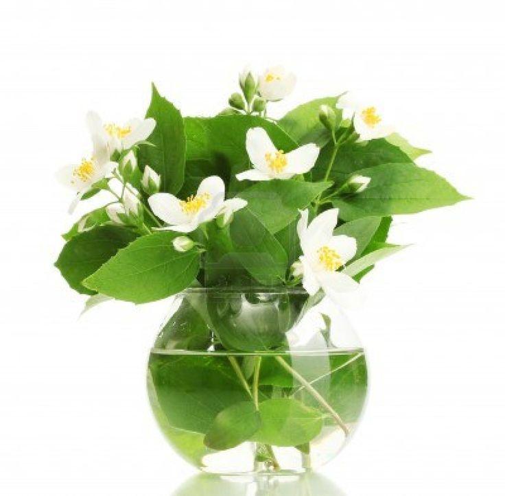 Beautiful Jasmine Flowers In Vase Isolated On White Stock Photo
