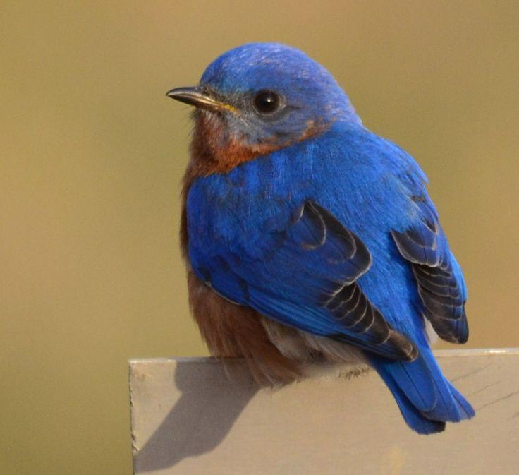 Eastern Bluebird (Sialia sialis)                                                                                                                                                                                 More
