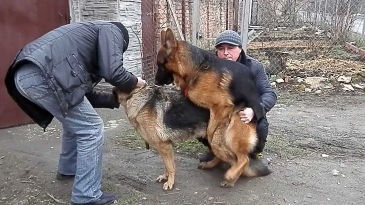 Немецкие овчарки.Как происходит вязка.Mating dogs.Одесса.