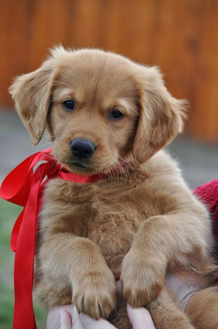 Best 25+ Golden retriever puppies ideas on Pinterest ...