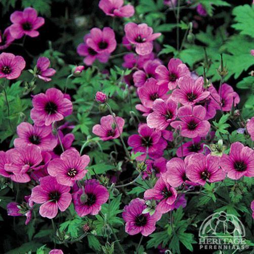 39. Geranium psilostemon 'Bressingham Flair'