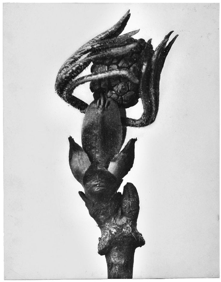 Karl Blossfeldt.  Looks like a dancer from a Greek tragedy to me, what do you think?