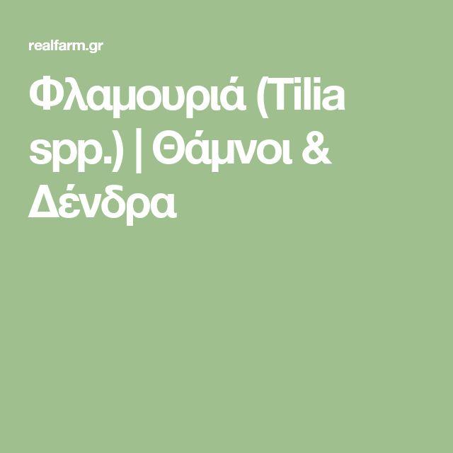 Φλαμουριά (Tilia spp.) | Θάμνοι & Δένδρα