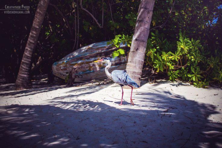 Grey heron on the beach at Eriyadu Island Resort