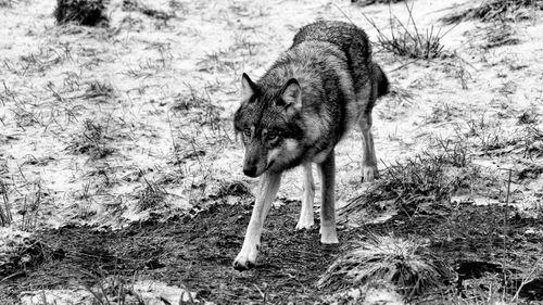 Shot in November in Kristiansand Zoo, Norway.