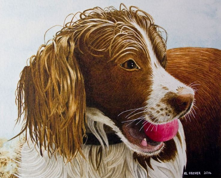 Pet and wildlife portraits in watercolour at Kelly Archer Pet Portraits  #petportrait #dogportrait #springerspaniel #kellyarcher