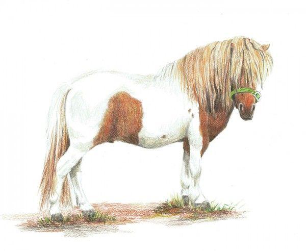 My little Monty, stallion 35 inches high