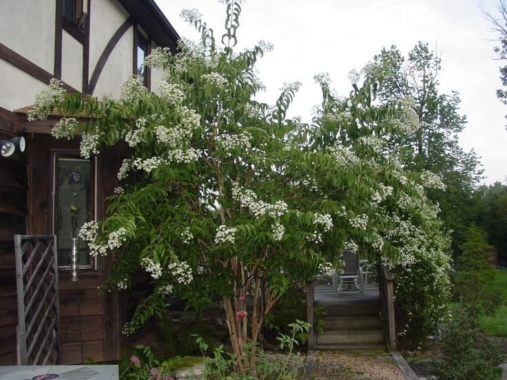 Heptacodium smallish tree for right side katies