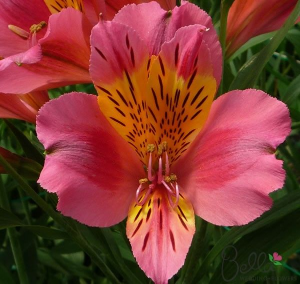 Pink Toscana Peruvian Lilies flowers for your Wedding centerpieces and bouquets at wholesale prices! These colorful flowers feature charming Pink petals that are often two-toned with possible hot pink undertones and yellow inner petals and freckles. Each flower has an average of 3 to 5 semi heart-shaped blooms and would create stunning wedding bouquets, table centerpieces and floral decor. Also known as Alstroemeria we deliver these beauties directly to your doorstep from the Grower! $62