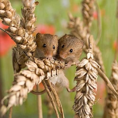 Country field mice                                                       …