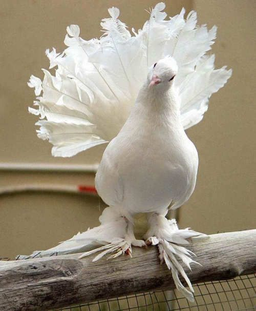 English Fantail Pigeon: Animals, Fantail Pigeon, English Fantail, White, Beautiful Birds, Where, Photo