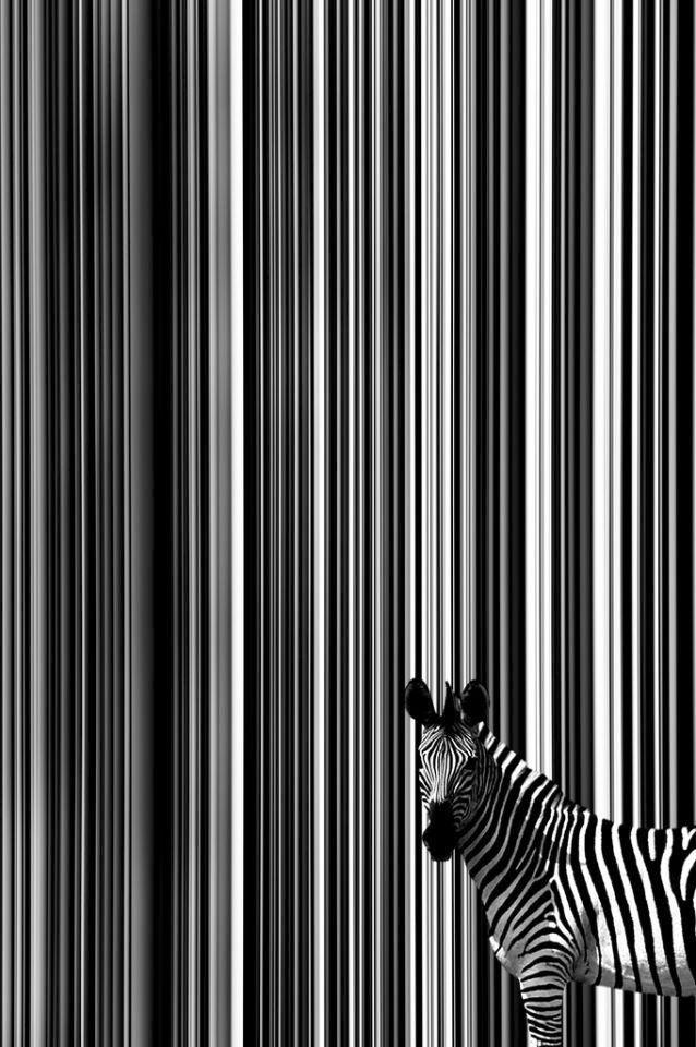 Zebra Stripes: black and white