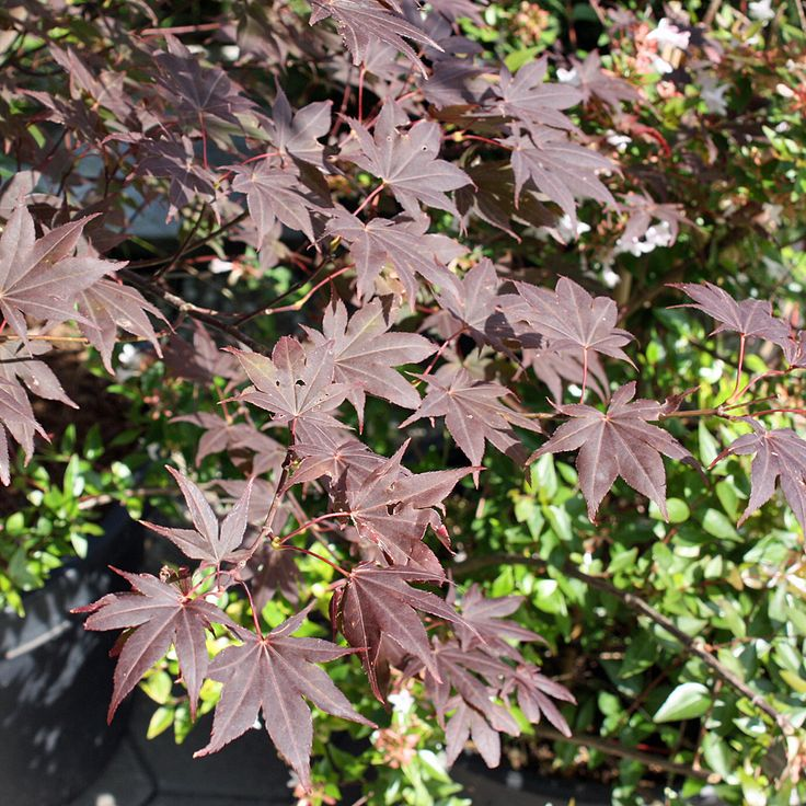 Roter Fächerahorn - Acer palmatum Atropurpureum  Der Rote Fächerahorn hat dunkelrotes Laub und eine leuchtend rote Herbstfärbung | Native Plants