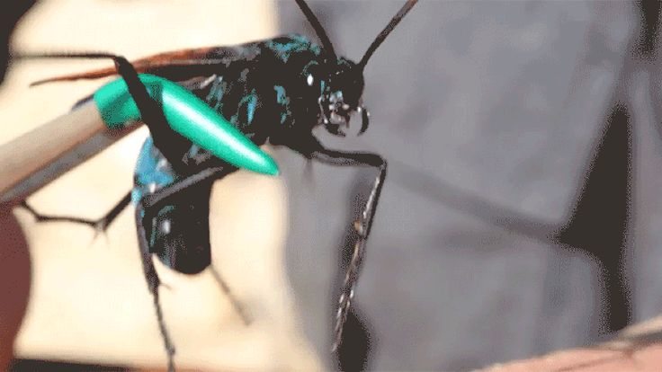 The tarantula hawk is neither a tarantula nor a hawk—it's a very big, very mean desert wasp. And of course someone on the internet decided to get stung by one.