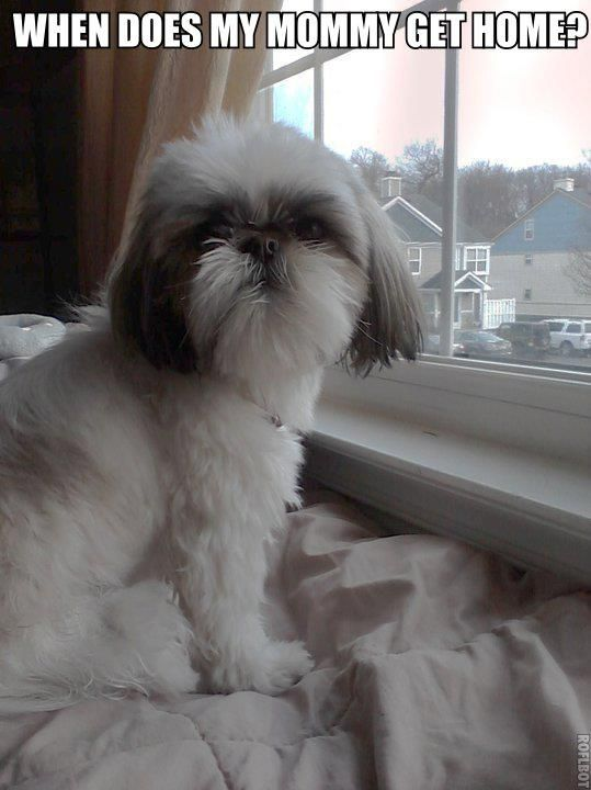 Shih Tzus - This is what my Chase does when I leave. He waits either in the window upstairs or downstairs or on the back of the sofa and he knows our vehicles so he gets very excited when we get home. I love it.