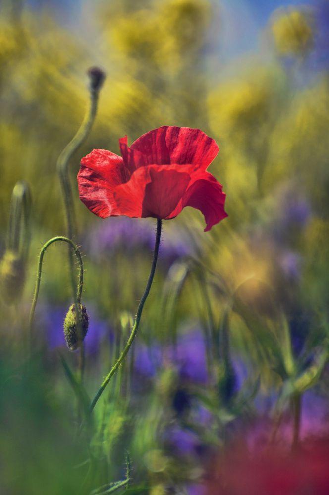 Poppy and spring by Zoltán Koi**