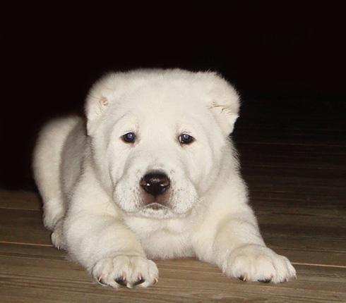 Central Asian Ovcharka puppy
