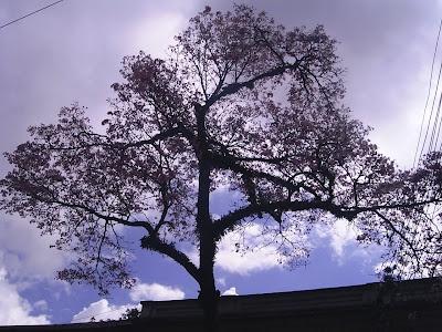 Ocobos Ibague, foto 1, árbol insignia de la ciudad