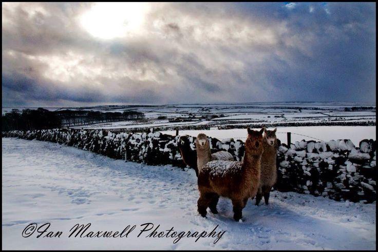 Alpacas in the snow