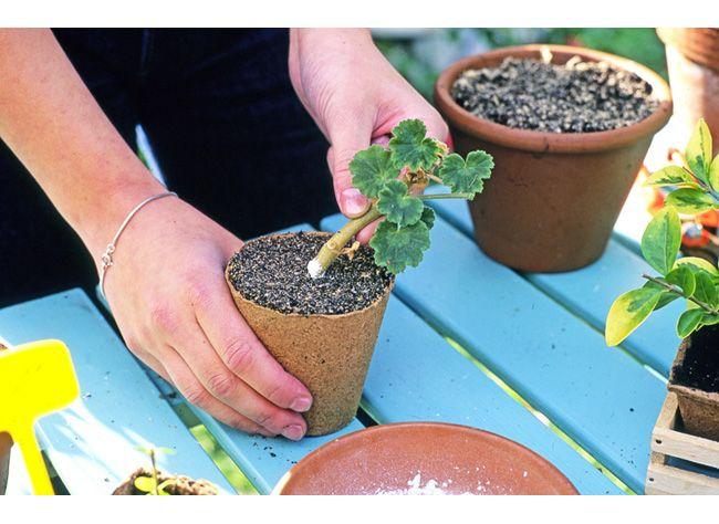 Comment bouturer le géranium lierre ou zonale : les conseils de jardinage de…