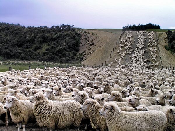 Sheep Country! New Zealand #heartland #thesheepoutnumberthepeople