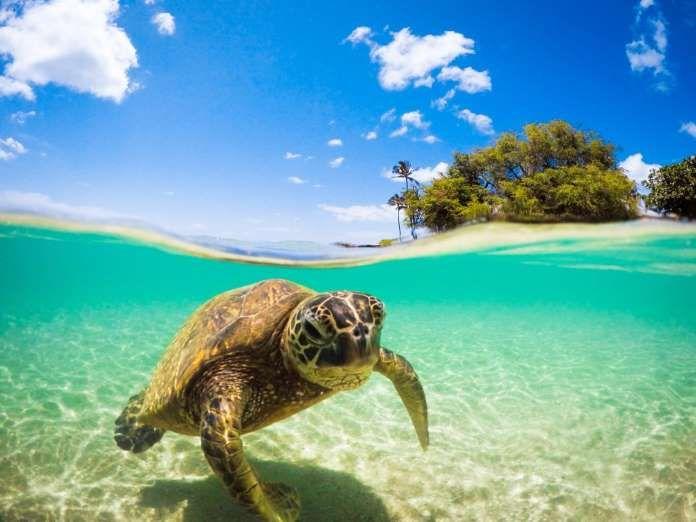 Una tortuga se aproxima a una playa de la isla de Oahu (Hawái). - Proporcionado por Prisa Noticias