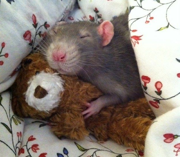 And so does this lil' rat cuddling his favorite teddy bear. | 21 Small Animals That Deserve More Internet Love