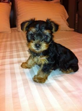 7 Week Old Purebred Yorkshire (Yorkie) Puppy For Sale