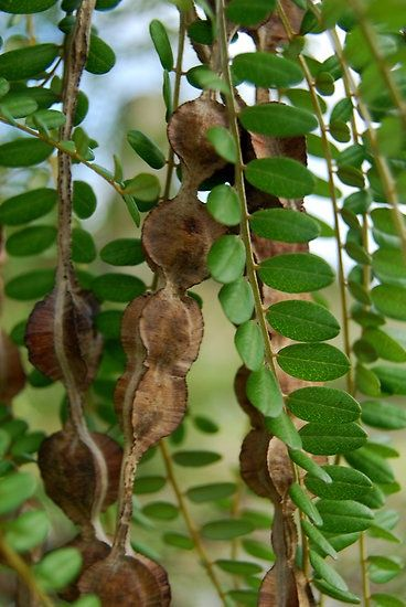 Kowhai seed pods and leaves by Lisa Sarsfield