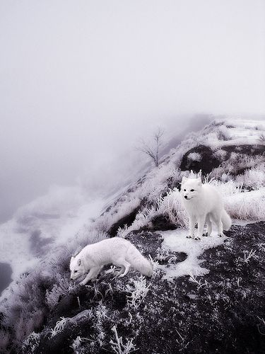 Winter time - White Winter Foxes by valerie chiang, via Flickr