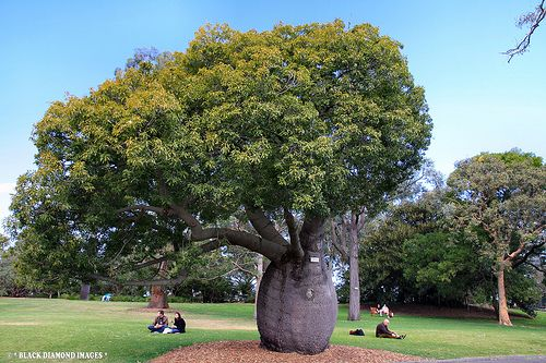 Queensland Bottle Tree (Brachychiton rupestris) - Google Search