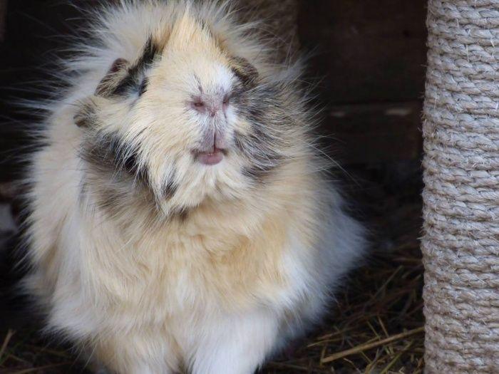 Jyro cochon d'inde mâle (il en jette grave sa mère jyro )
