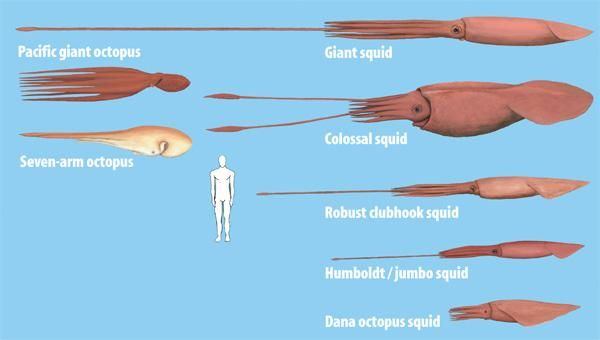 Colossal squid Size | Size comparison between the biggest octopuses and humans and the giant ...