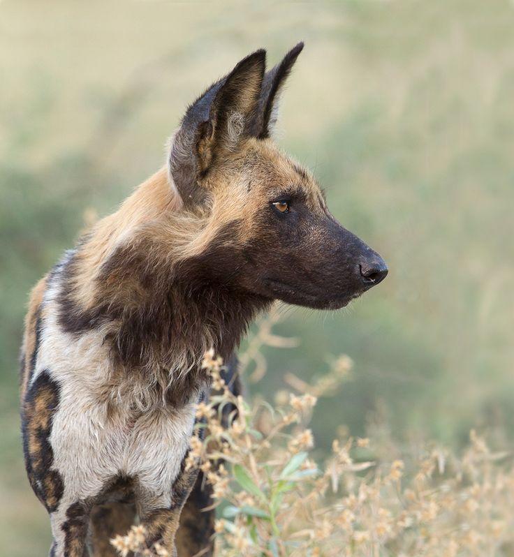 Wild Dog portrait   Flickr - Photo Sharing!